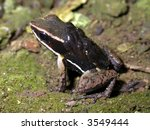 Small photo of spotted-thighed poison frog (Allobates femoralis) male with tadpoles