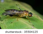 a soldier fly on green leaf | Shutterstock . vector #35504125