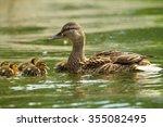 Female Mallard Duck With...