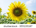 sunflower in garden | Shutterstock . vector #355135187