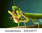 Green Mantis Eats A Grasshopper