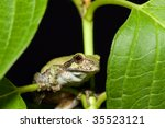 Cope\'s Gray Tree Frog On A Leaf.