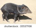 collared peccary | Shutterstock . vector #35537938