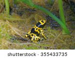 Small photo of Yellow-banded poison dart frog (Dendrobates leucomelas), also known as yellow-headed poison dart frog or bumblebee poison frog, is a poisonous frog from the Dendrobatidae family.