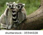 Two Ring Tailed Lemurs Sitting...