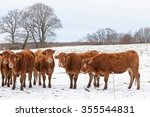 Herd Of Red Brown Limousin Bee...