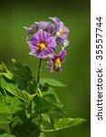 Flower Of Potato Plant