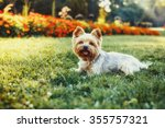 Beautiful Yorkshire Terrier Do...