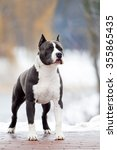 Small photo of American Staffordshire Terrier outdoor portrait