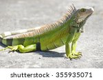 Young Iguana Male Laying On A...