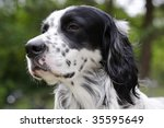 English Setter That Looks With...