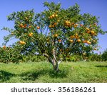 Orange Trees In Orange Orchard...
