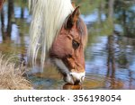 A Wild Chincoteague Pony At The ...