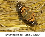 """Close to the butterfly """"Kaisermantel"""" - stock photo"""