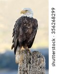 Bald Eagle With A Golden...