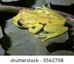 Small photo of Plain narrow-headed treefrog (Scinax cruentomma)