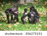 Family Of Ateles Geoffroyi...