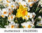 A Large Yellow Daffodil...
