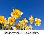 Fancy Double Daffodils With...