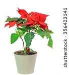 The Poinsettia  Euphorbia...