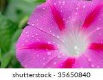 Morning Star Flower Closeup...