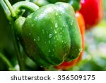 Pepper Plant With Fruits After...