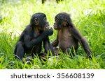 Two Baby Bonobo Sitting On The...