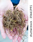 Small photo of Freshly harvested Goldenseal commonly known as Yellow Root.
