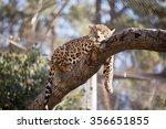 Jaguar In Captivity Sleeping I...