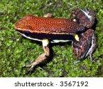 Small photo of Sanguine Poison Frog (Allobates zaparo)