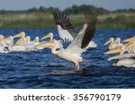 pelican taking off  on a lake... | Shutterstock . vector #356790179
