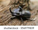 Rhinoceros Beetle  Oryctes...