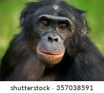 Portrait Of Bonobos. Close Up....