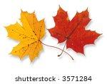 Two Vivid Maple Leaves Against...