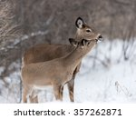 White Tailed Deer Doe With Faw...