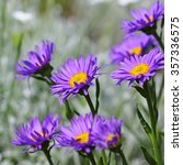 Small photo of The Alpine Aster (Aster alpinus) . Decorative garden plant with blue flowers