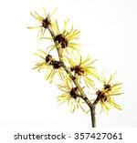 witch hazel  blossom  hamamelis   Shutterstock . vector #357427061