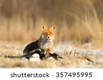 mammals   european red fox ... | Shutterstock . vector #357495995