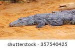 Small photo of American alligator. Alligator mississipiensis