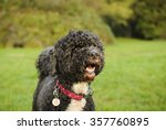 Portuguese Water Dog At The Park