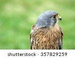 Beautiful Kestrel  Bird Of Prey