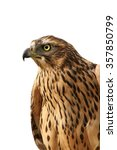 Small photo of isolated portrait of eurasian sparrowhawk ( Accipiter nisus )