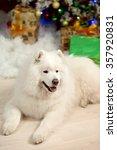 Samoyed Dog Near Christmas...