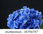 Blue Hydrangea Blossoms On Black