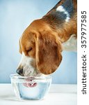 Beagle Dog Drinks Water From A...
