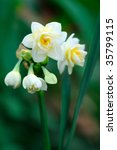 Small White Narcissus Close Up