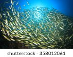Bigeye Snapper Fish School In...