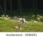 young deer resting on the grass | Shutterstock . vector #3580691