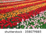 Fresh Blooming Tulips In The...