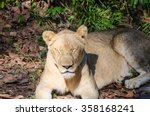 Small photo of Female Lion sleeping in grass
